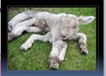 دانلود مقاله نواقص ژنتیکی در گوسفندان(پاورپوینت)