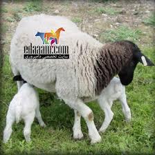 دانلود مقاله بیماری های متابولیکی گوسفند (پاورپوینت)