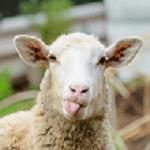 ارزیابی وضعیت بدنی گوسفند BCS