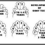 آموزش تعیین سن گاو