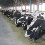جایگاه پرورش گاو شیری
