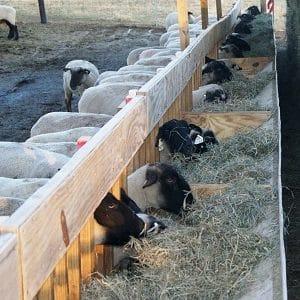 جایگاه پرورش گوسفند
