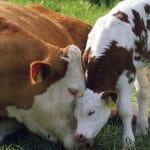 تشخیص آبستنی در گاو شیری
