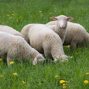 دانلود مقاله ارزیابی وضعیت بدنی گوسفند ( BCS ) در قالب پاور پوینت