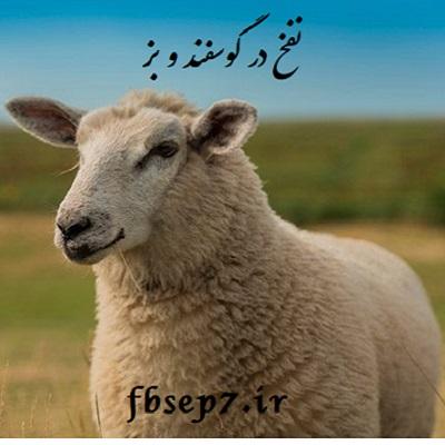 نفخ در گوسفند و بز