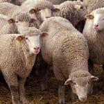 سمینار سقط جنین در میش گوسفند