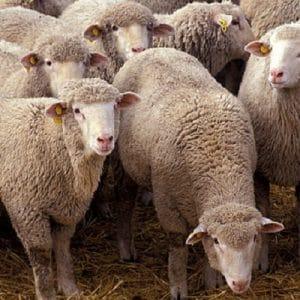 دانلود سمینار سقط جنین در میش ( گوسفند ) در قالب پاورپوینت ppt